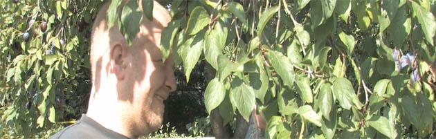 Hinz&Künztler Gerrit sucht im Pflaumenbaum nach den ersten reifen Früchtchen