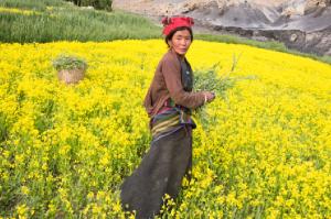 Seit Tausenden von Jahren bestellen die Sam Dzonger ihre Felder im Himalaya auf traditionelle Art. Doch in ihrem alten Dorf macht die KLIMAVERÄNDERUNG das Überleben für die Dorfgemeinschaft unmöglich. (Foto: Manuel Bauer)